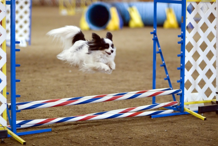 blog-kreger1-papillon_dog_agility_jump