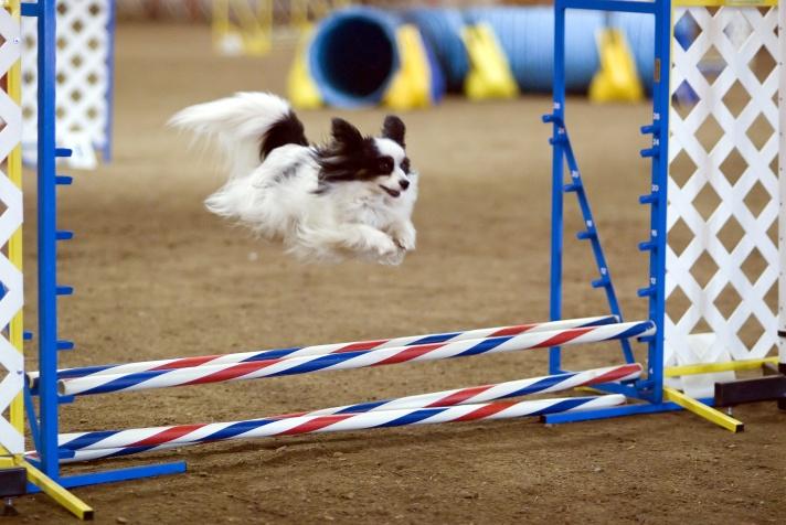blog-kreger1-papillon_dog_agility_jump