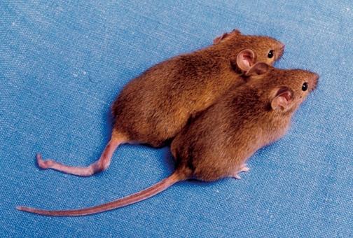 cloned_mice