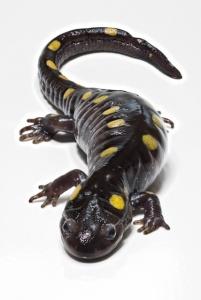 spotted-salamander