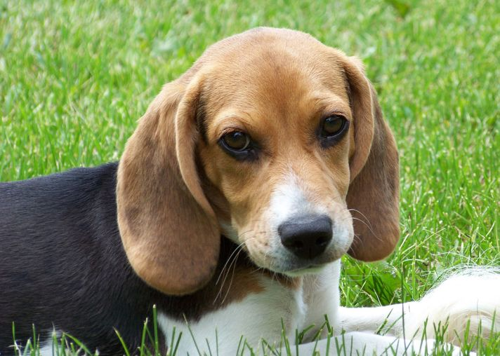 unit-7-dq-big-q-2-Cute_beagle_puppy_lilly